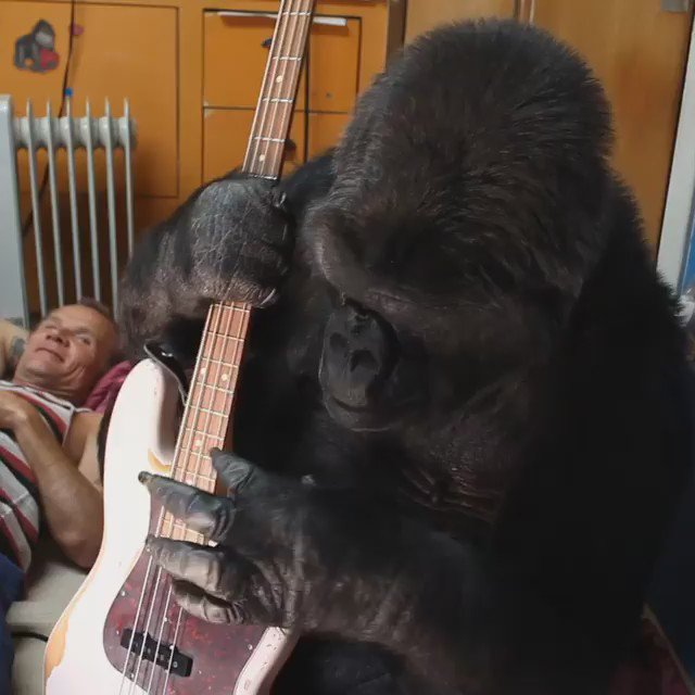 Koko rocks a flea bass like it ain't nuthin  Support The Gorilla Foundation @kokotweets here https://t.co/XWD2z1SYwG https://t.co/xOIFoTwLBZ