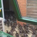 When ducks come to our training centre... Courtesy of @JonPamment  @gloucesterrugby #glawsfamily  #roastducknextime https://t.co/tTWsgazN06