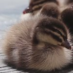 What a quack up! Hang in there little guy, the weekend is almost here! #dozyduckling #reflectionsnooze #zzz https://t.co/VRKaDZ4buZ