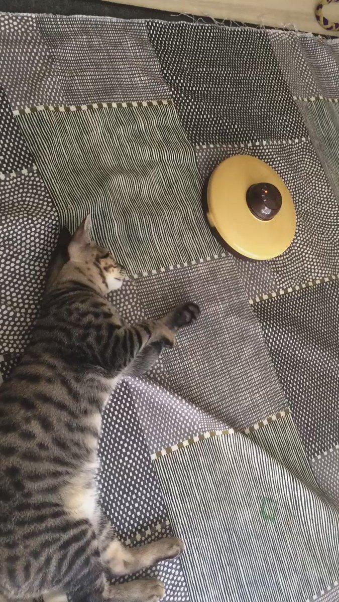 弟子の猫がくるくる回るおもちゃを手に当てて感触だけ味わっている。気だるい午後 https://t.co/8YU5YkmnW6