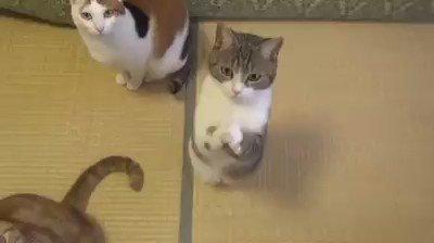 고양이가 애걸하는 법을 배워왔다  #웃기냥 #고양이 #유머 #강아지 - 카페: https://t.co/VSjiH5Qk68 - 밴드: https://t.co/qs1I5nX0ts https://t.co/x8FAW0yKCq