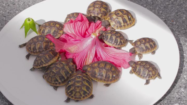 Baby turtles enjoying a delicious hibiscus flower #TurtleTuesday #cute #nom https://t.co/vSu6mJhVdl