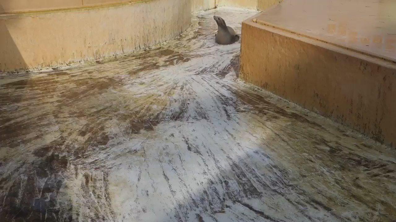 落水清掃中。カリフォルニアアシカ・リサちゃんの腹すべり。#桂浜水族館 https://t.co/vOiDmDh8DM