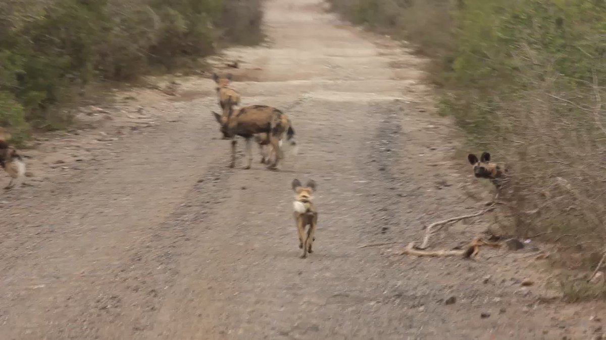 Isn't this the most adorable thing? A pack of 12 wild dogs with their 14 puppies. @wildlifeact https://t.co/Idg2oTkFSg