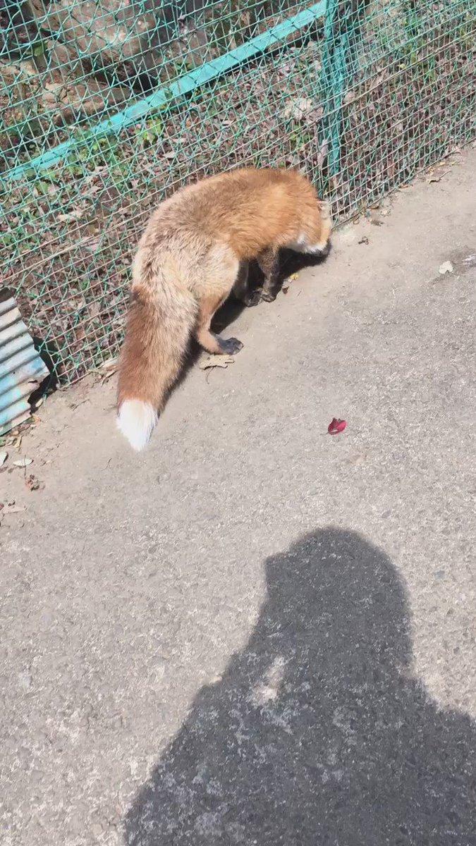 そういえばこの前初めて狐を見に行ったんだけど、鳴き声初めて聞いた!もはや悲鳴、そんなに俺に撮られるの嫌だったのか…。 #動物