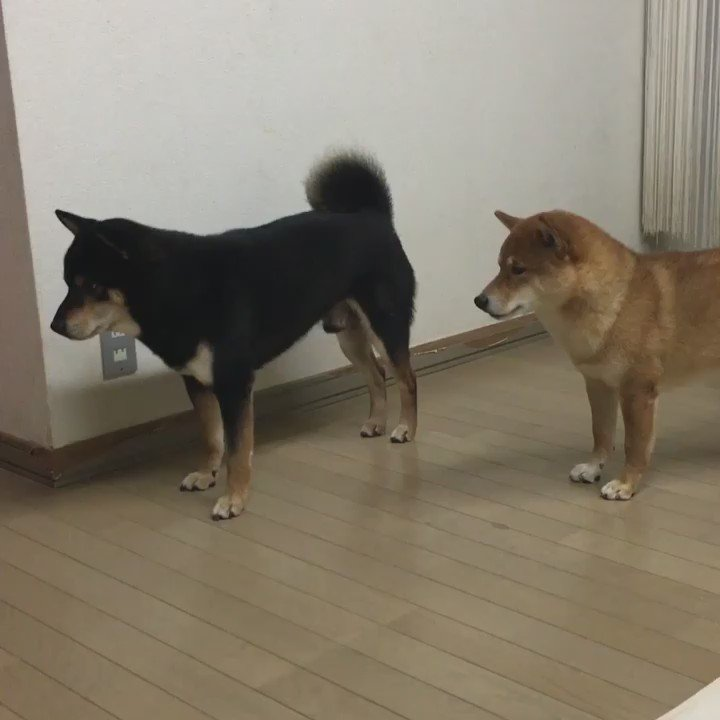 お前先行け!洗脳されるなよ!  #柴犬 #shiba
