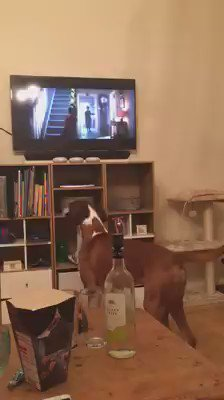 This boxer watching the John Lewis ad is the best thing you'll see all day https://t.co/QvRAo78PlD https://t.co/sS60DQ5E0E
