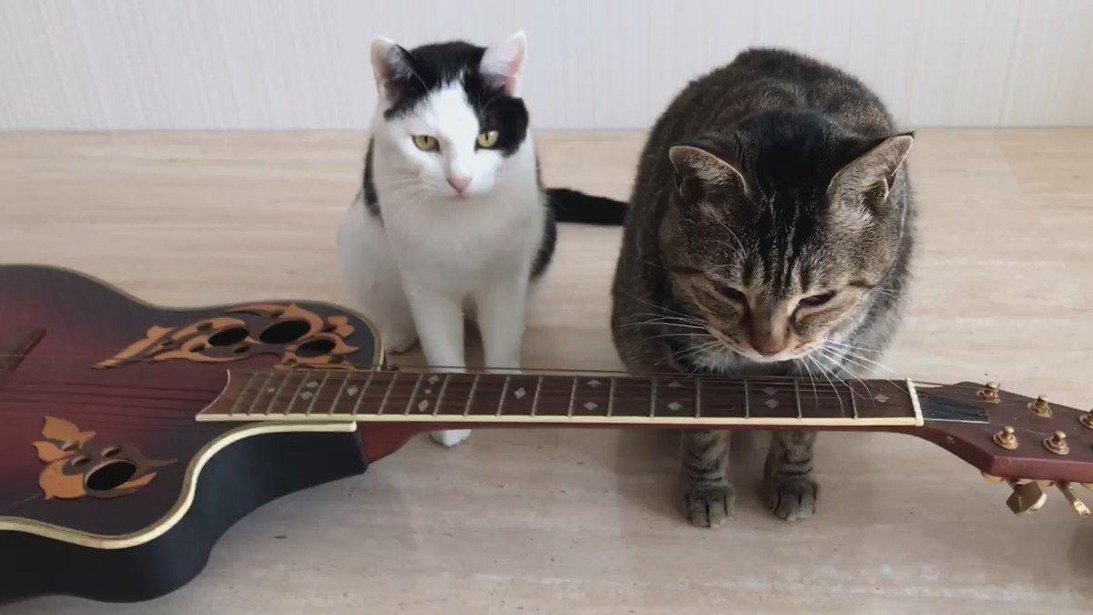 猫に小判的な?w RT @b_ru_ru 路上ライブしたら、持ちきれないほどの投げ銭をもらえそうな猫アーティスト https://t.co/PgdyayWOLj