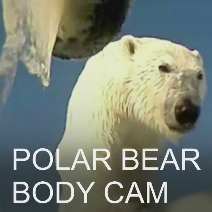 Extraordinary video from a polar bear body cam https://t.co/lt0moF0ADO