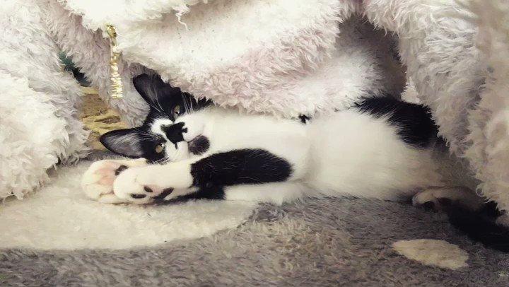 しずくちゃん、まったり。こんなに動かないしずくちゃんは結構レアなんです(;´▽`A``#猫好きさんと繋がりたい #猫モフ