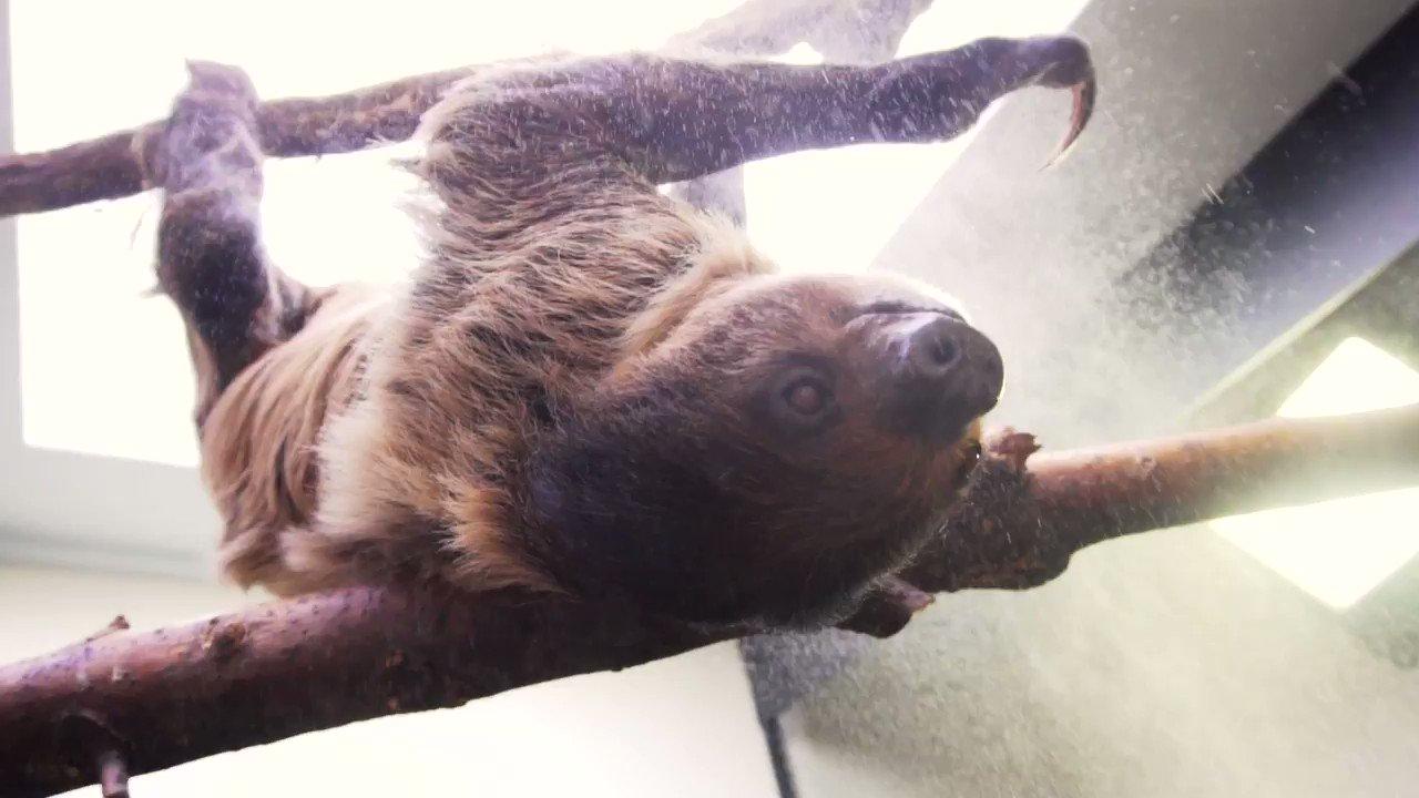 Sorry for the delay, had to go give a sloth a bath. Round 2 of #cuteanimaltweetoff @clevezoosociety @ColumbusZoo @AkronZoo @CincinnatiZoo https://t.co/YwALWDyFix