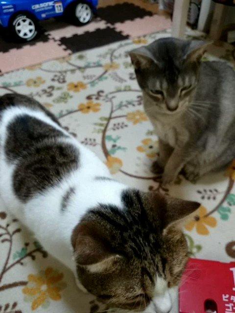 猫で癒されようと初めてこのタイプのおやつあげてみた。メルががっつくせいで中々ルル子さん食べられないやつ。