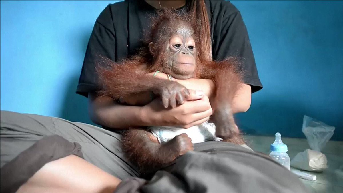 After being rescued in Indonesia, Vena the baby orangutan kisses the camera as she is cared for by veterinarians 🐵