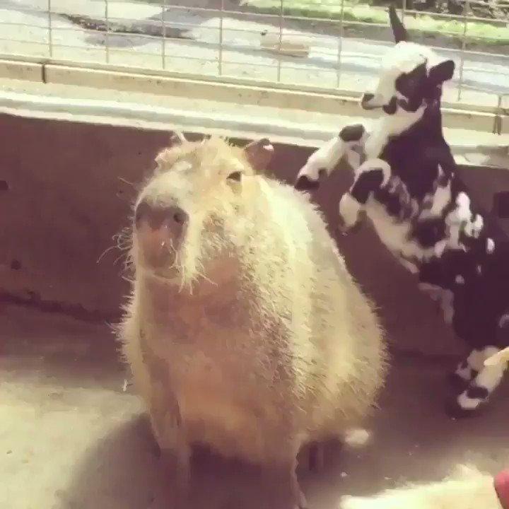 Me. The goat is politics. https://t.co/o3vaf3pbVQ