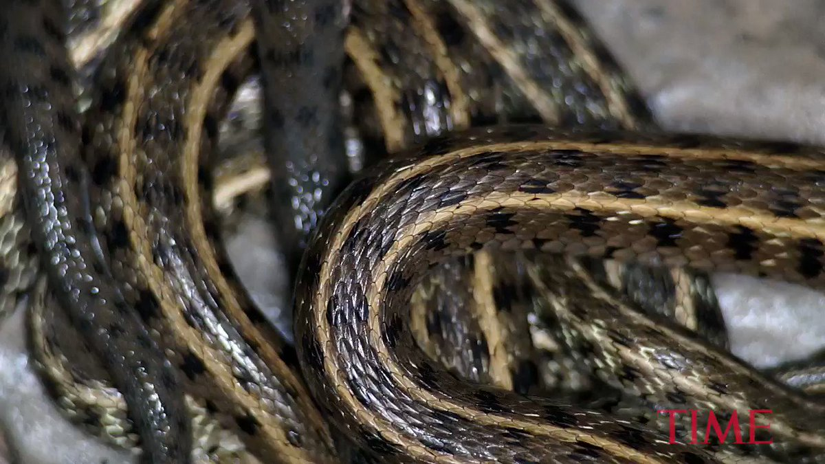 Be afraid because science says some snakes hunt in packs