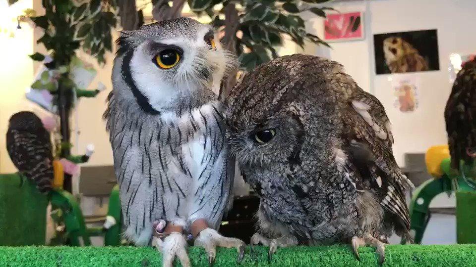 おひさしぶりです🙇✨今日はこの2羽のご紹介🦉←左側 アフリカコノハズクのアオちゃん😊→右側 ニシアメリカオオコノハズクの