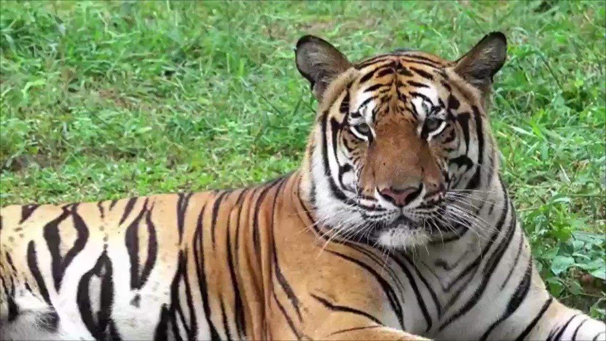 Police said a tiger killed a female zookeeper Monday at Hamerton Zoo Park, near London.