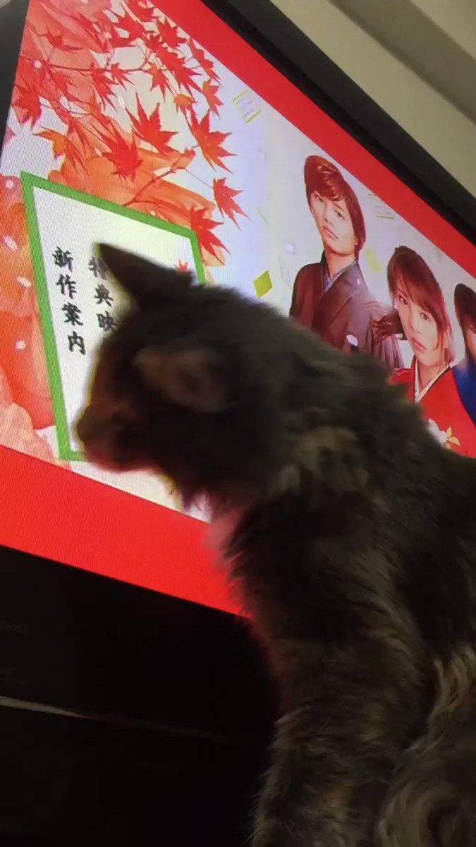 ちはやふるシュシュ子。テレビの中の桜の花びらに夢中なのです(*⁰▿⁰*)❤︎