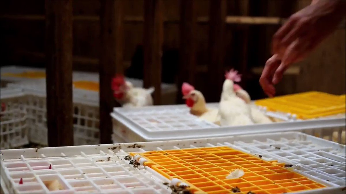 RT @MercyForAnimals: Watch these rescued farmed animals enjoy their first taste of freedom! ???????????????? https://t.co/I2KkwfJXo6