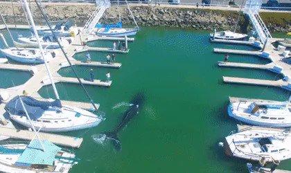 MEDIA: Whale enters a yacht marina in California. https://t.co/9ntrt8p4tZ