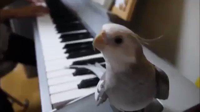 となりのトトロをピアノに合わせて歌うオカメインコ.