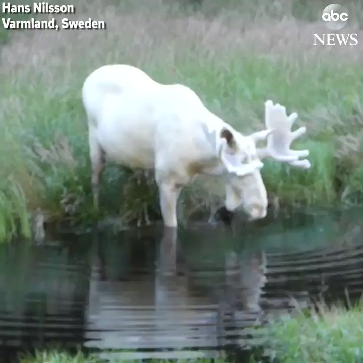 Extremely rare white moose takes a dip in a lake in Sweden.