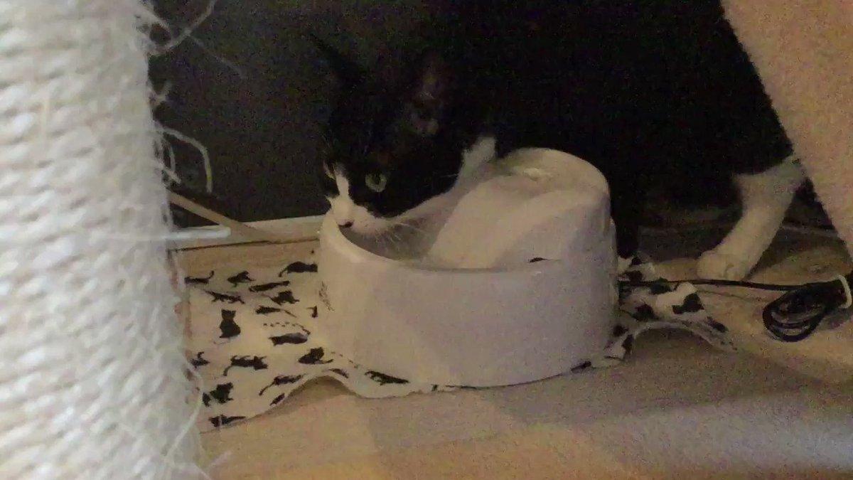 ゆーっくりお水を飲むソデミちゃん。#ネコリパ池袋 #猫好きさんと繋がりたい