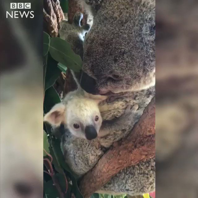 Australian Zoo shows off a rare, white koala ��  https://t.co/aeILTRxhOS https://t.co/XbidLeWISa