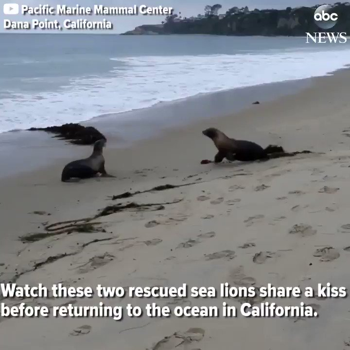 WATCH: Two rescued sea lions share a kiss before returning to the ocean in California: https://t.co/RnQ9rT8XA6 https://t.co/7JO0pKNkXV