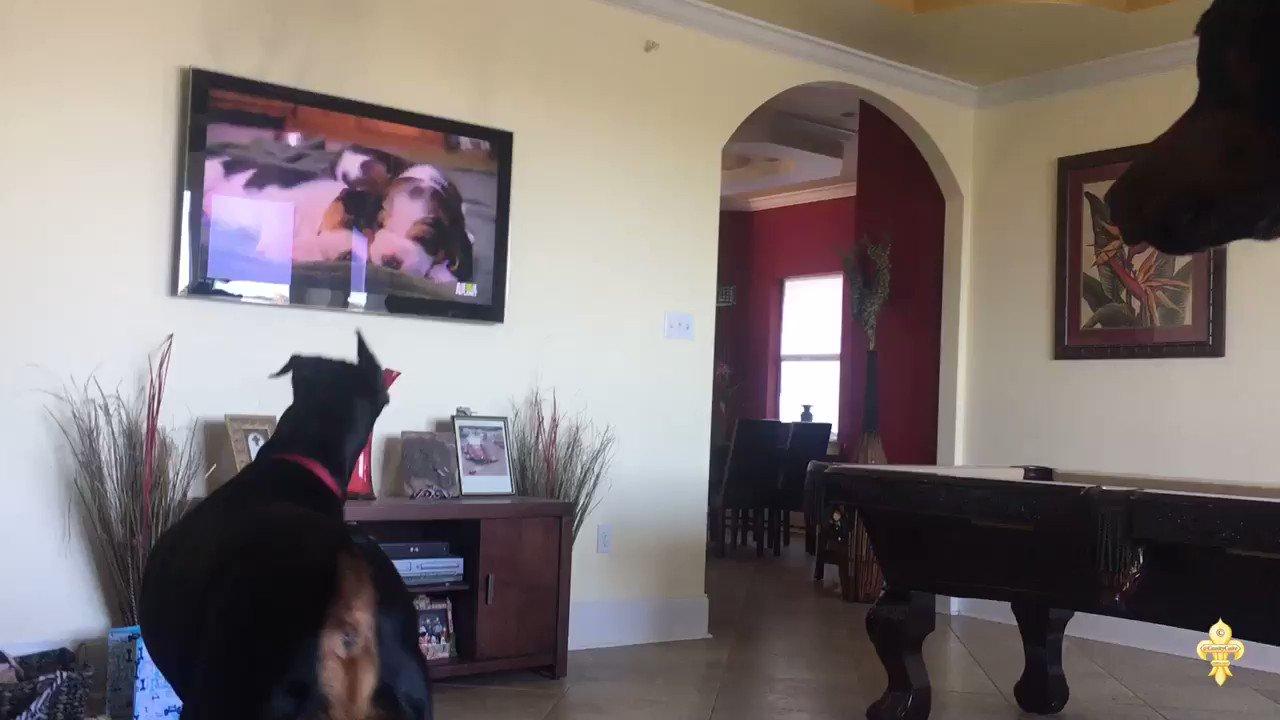Cairo & Kane watching their fav morning programs🖥 #AnimalPlanet #dobermans 🐾❤🐾 @dogcelebration https://t.co/9S360Tbi4z