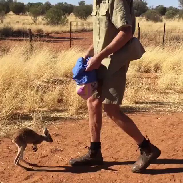 Happiness is jumping into bed after a long day☺ (Video: The Kangaroo Sanctuary in @AusOutbackNT) https://t.co/w3kRWMR5Y3