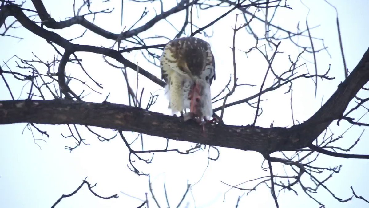 #Redtailhawk seen at 110 Street and #centralparknyc https://t.co/wTt3V0MJhP