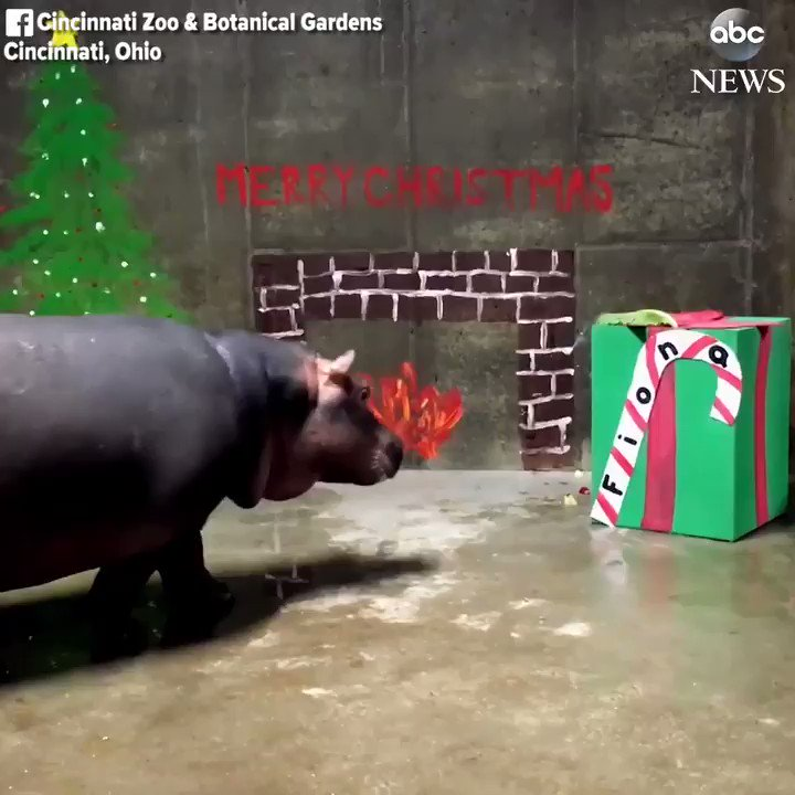 Fiona the hippo celebrates her first Christmas at the Cincinnati Zoo.