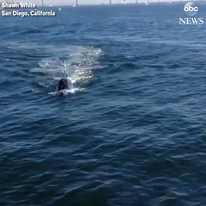 Onlooker in San Diego startled by what at first appeared to be a shark in the bay… https://t.co/upoGa7b4RJ