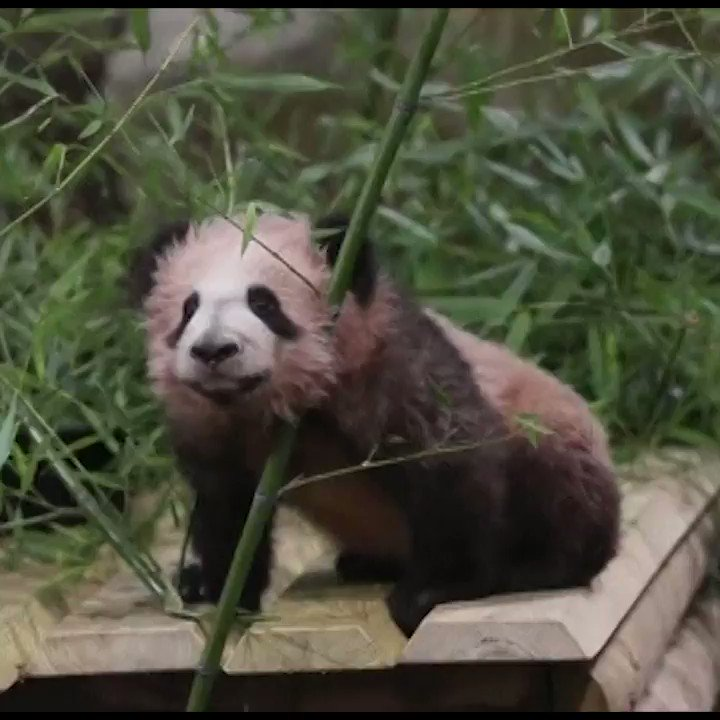 France's first panda makes public debut   Read more -->