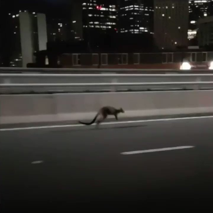Wallaby gives police the slip on Sydney Harbour Bridge ����  https://t.co/a6sdRuECnD https://t.co/dyf87QAo96