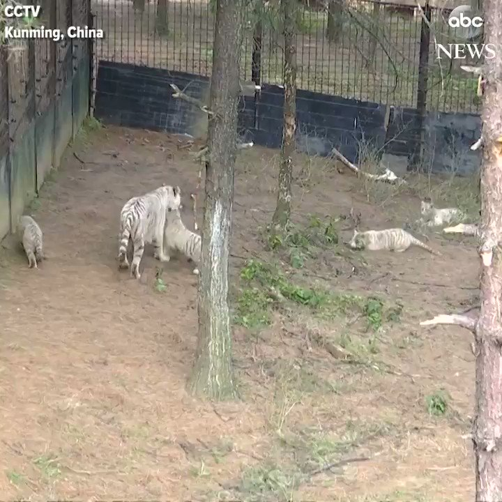 Endangered white tiger sextuplets make their debut appearance at a wildlife park in China. https://t.co/yPhFo3V4Cg