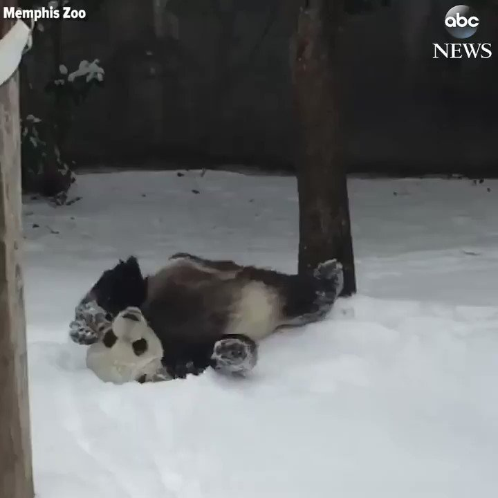 SNOW DAY! This panda at the Memphis Zoo is having a blast rolling around in the snow. https://t.co/yYobIssczh https://t.co/KBjPpcg0Vc