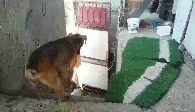RT @guzilook: Para que comiences bien tu día, así recibe este perrito a su dueño. ❤ https://t.co/ly7qDtbATj