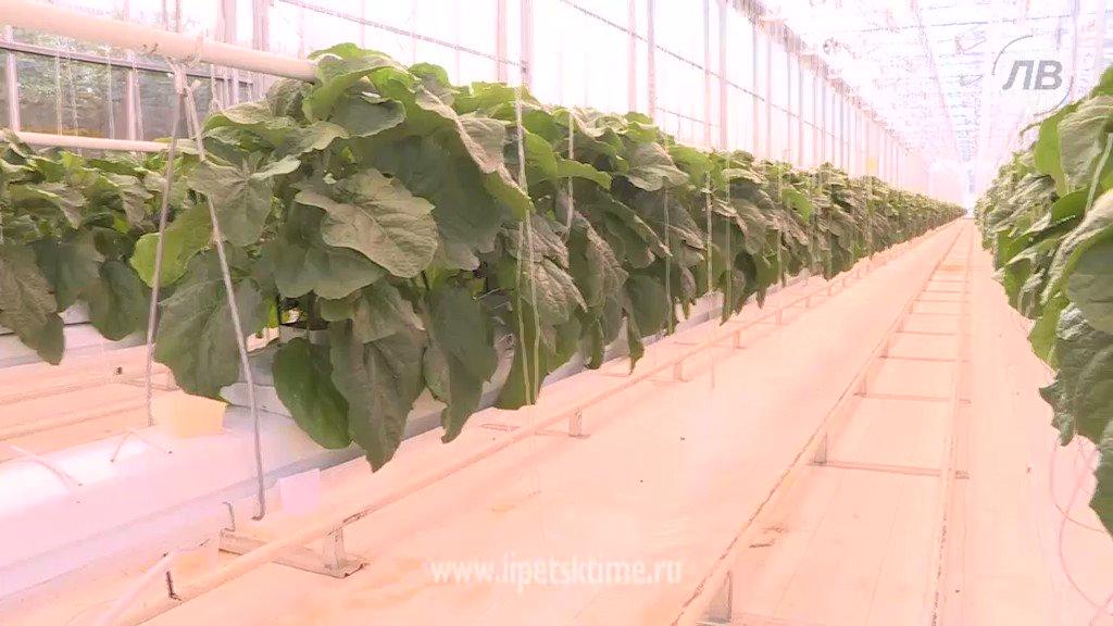 Выращивание овощей в закрытом грунте оквэд