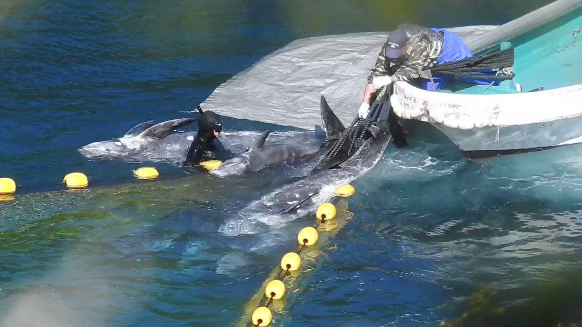 """This is what """"tradition"""" looks like in Taiji, Japan. TAKE ACTION: https://t.co/BkupXmhEip #DolphinProject https://t.co/HJ3f16YotC"""