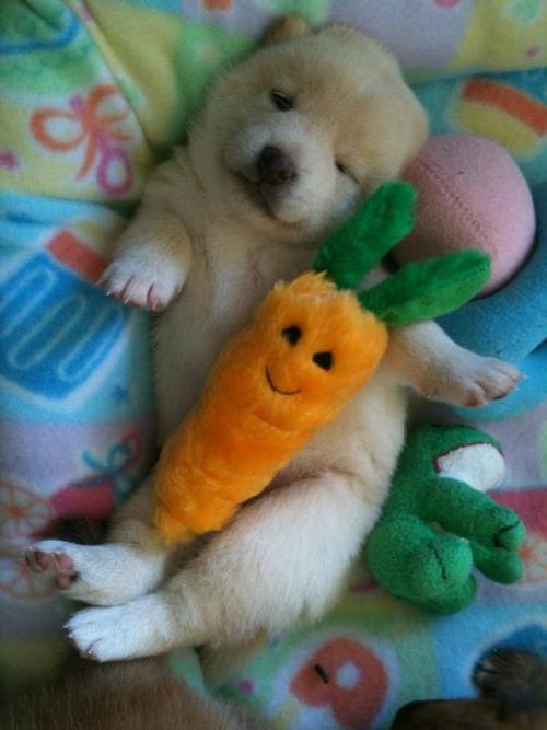 Puppy, napping with a stuffed carrot. http://t.co/ehmPFjXc