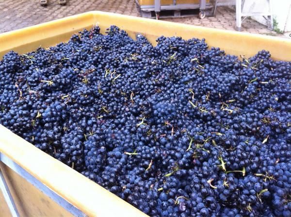 Jeremy Seysses (@JeremySeysses): First day picking reds. Bonnes Mares is looking great. Quantities predictably small. http://t.co/JtzBJlRP