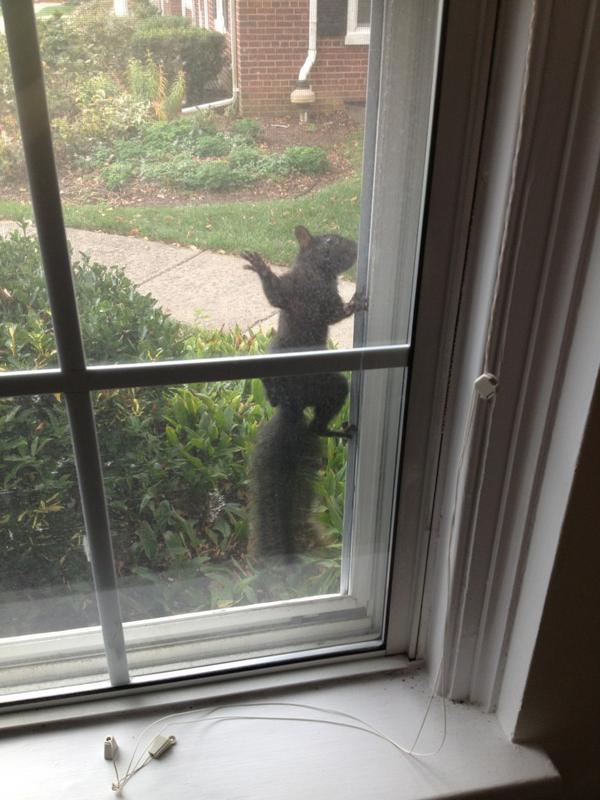 Megan O'Neill (@maoneill): OMG this squirrel was stuck to my window screen!!! http://t.co/WmKERypd