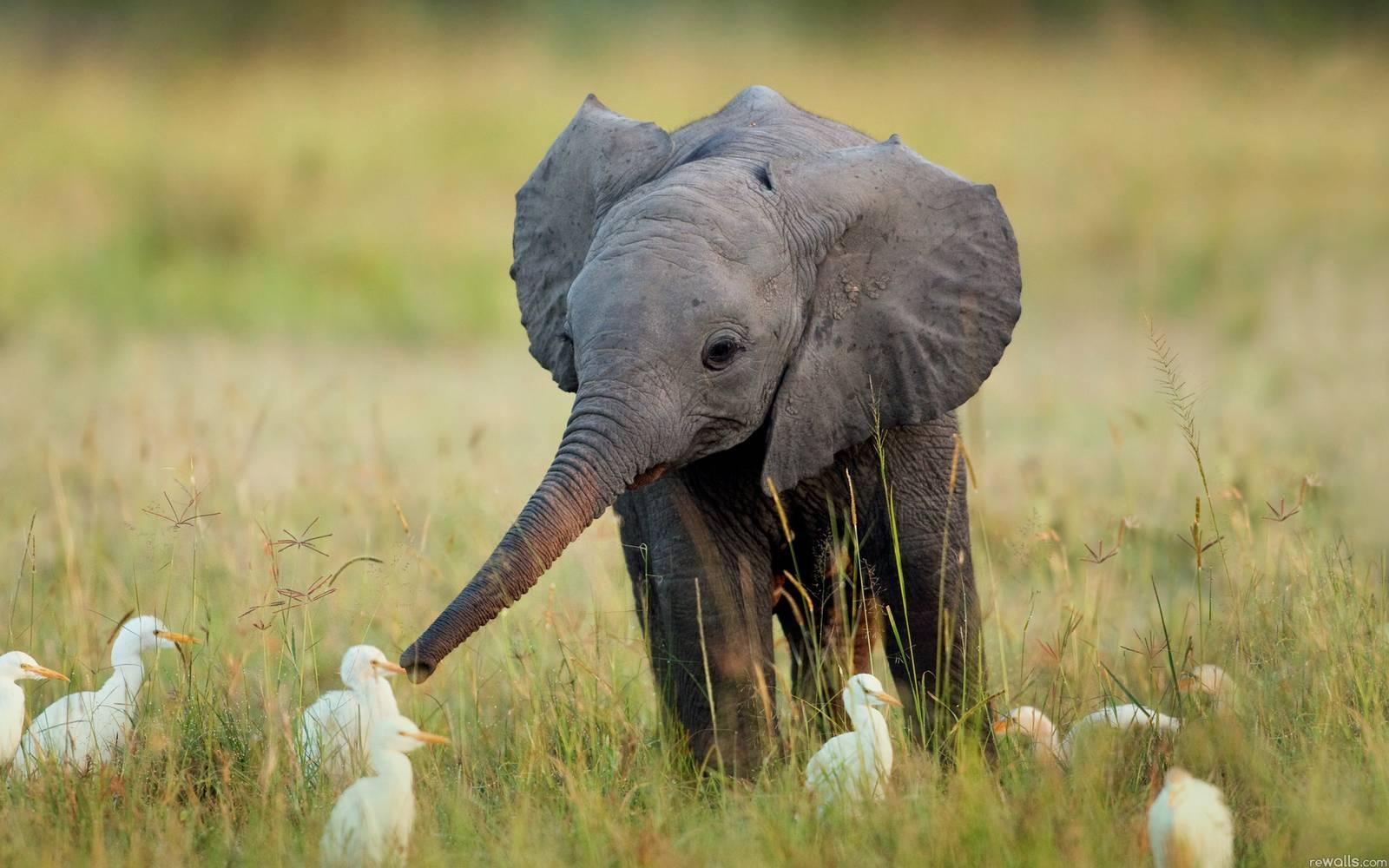 Baby elephant, hangin' with some egrets. http://t.co/Mua4de8t