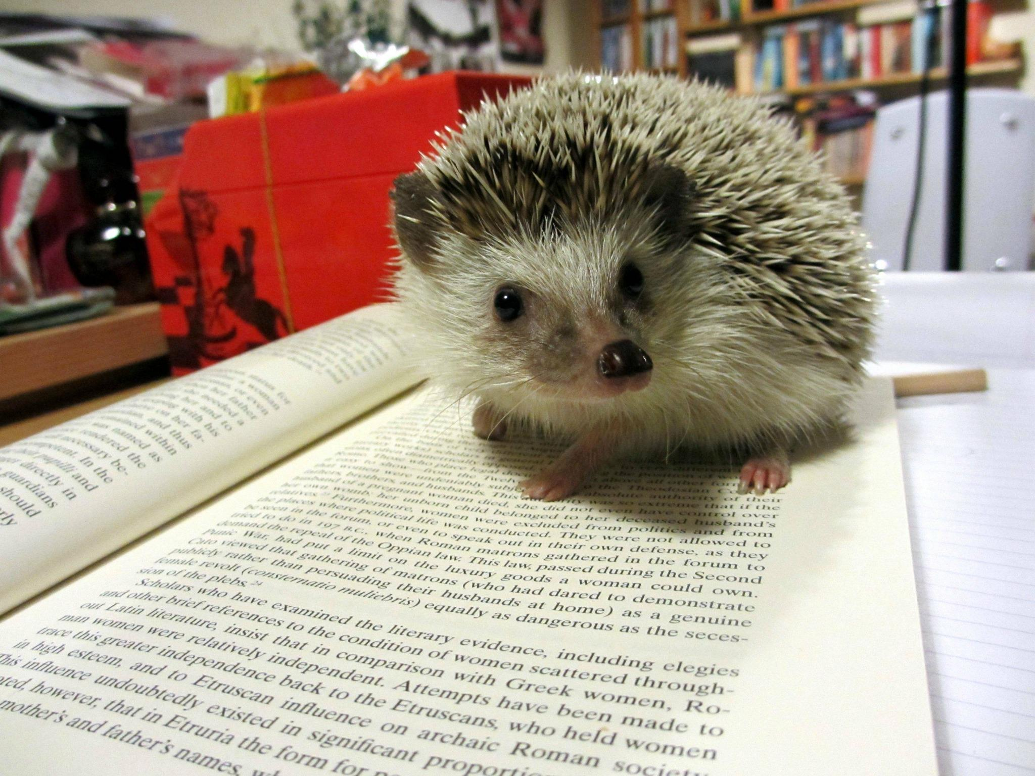 Hedgehog, studying for finals. http://t.co/EhQ2tLiU