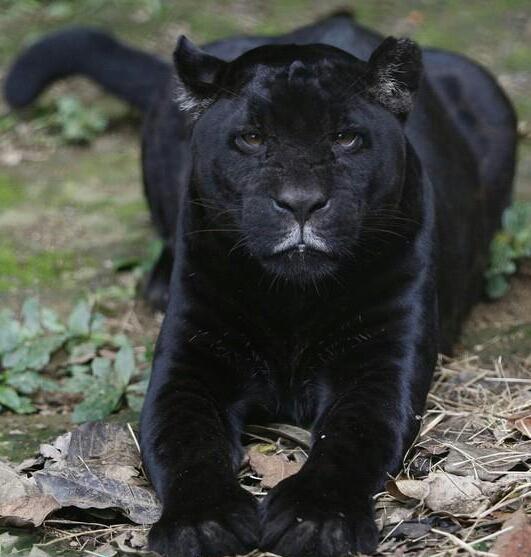 صور الفهد الاسود - Photo Black Panther - الفهد الاسود المفترس