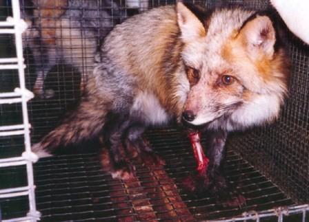 毛皮用に養殖されるキツネ 骨が見えるほどの激しい損傷  https://t.co/KR0125jkeZ #twitr #nofur