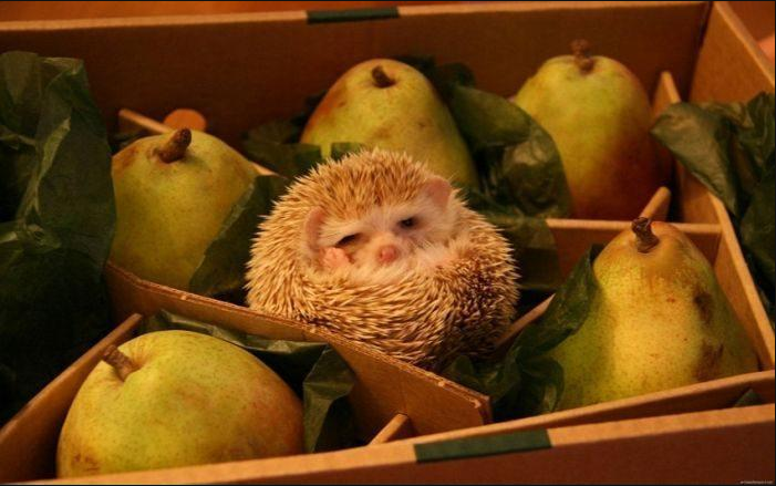RT @EmergencyPuppy: Just a hedgehog, pretending to be a pear. http://t.co/Ydx33cQS