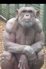 RT @Mortimafia: Apen zijn best gespierd http://t.co/E31qxjA5